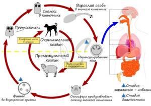 Как выглядят финны свиного и бычьего цепня и чем они опасны?