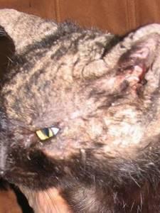 Виды, признаки и лечение лейшманиоза у людей и собак
