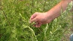 Цитварное семя при борьбе с паразитами. Где купить? Как принимать?