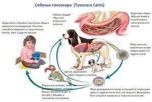 Могут ли глисты у детей быть причиной кашля? Как лечить?