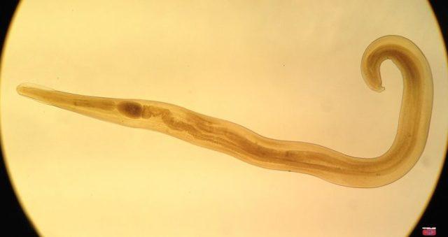 Облигатные паразиты. Что они из себя представляют? Кто из них обитает в человеке?