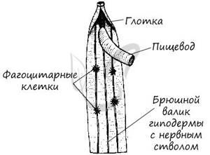 Круглые черви: что они из себя представляют и чем отличаются от плоских