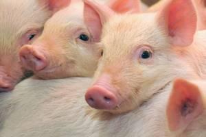Где и при каких условиях человек может заразиться личинкой свиного цепня?