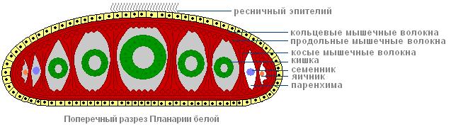 Белая планария: особенности строения