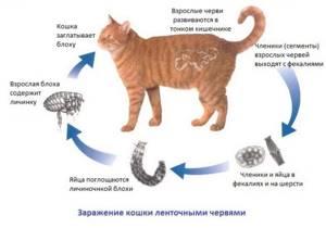 Как и чем вывести глистов у кошки самостоятельно, в домашних условиях?