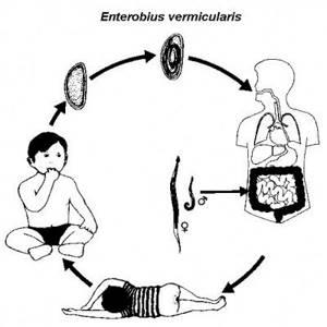 Энтеробиоз у взрослых и детей. Лечение препаратами и народной медициной