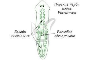 Плоские черви: общая характеристика, строениеи разновидности