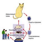 Токсоплазмоз у кошек. Симптомы. Диагностика. Какими препаратами лечить?