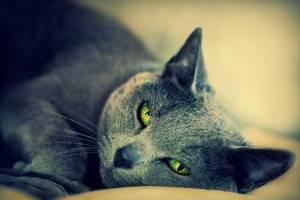 Лечение при ГКМП у кота - советы врачей на каждый день