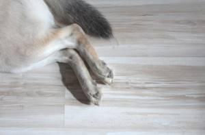 Периодически лтказывают задние ноги у чихуахуа - советы врачей на каждый день
