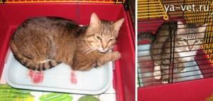 У кота кровь в моче - советы врачей на каждый день