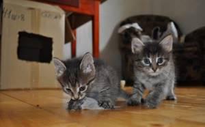 Котёнок играл с отравленной мышью - советы врачей на каждый день