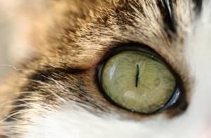 Слезоточение глаз у кошки - советы врачей на каждый день