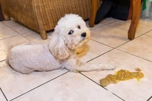Рвота белой пеной, понос с амиачным запахом, отказ от еды у собаки - советы врачей на каждый день