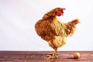 Куры не несут яиц - советы врачей на каждый день