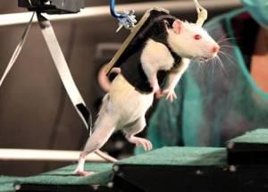 У крысы около паха появилась твердая шишка - советы врачей на каждый день