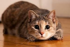 Опухоль у кошки - советы врачей на каждый день