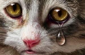 У кота очень сильно слезятся глаза - советы врачей на каждый день