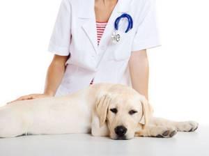У собаки рвота - советы врачей на каждый день