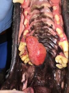 У собаки шишка на нижней челюсти - советы врачей на каждый день