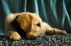 Кровь в моче собаки - советы врачей на каждый день