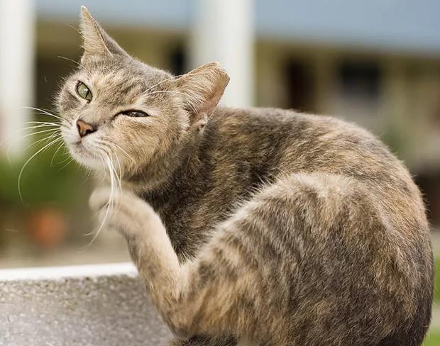 Постоянно чешется кошка - советы врачей на каждый день