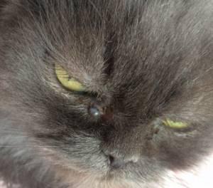 Болезнь глаз у кошки - советы врачей на каждый день