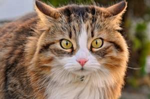 МКБ у кота - советы врачей на каждый день