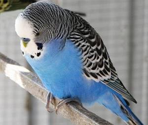 Волнистый попугай не ест - советы врачей на каждый день