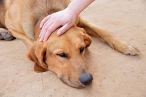 Вялое состояние собаки - советы врачей на каждый день