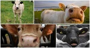 1,5 мес кашель у теленка - советы врачей на каждый день