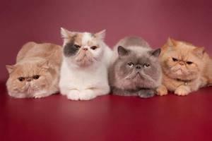 Роды персидской кошки - советы врачей на каждый день