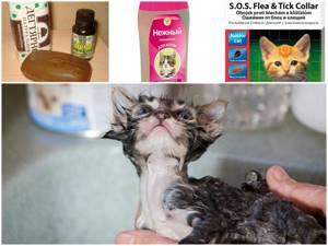 Как избавть котенка от блох - советы врачей на каждый день