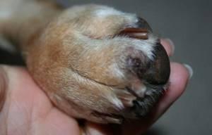 У собаки опухла и висит задняя лапа - советы врачей на каждый день