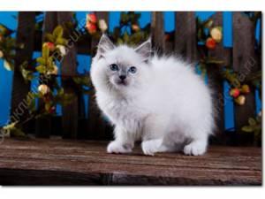 У кошки опухают губы, лысеет Пузико, постоянно чешется - советы врачей на каждый день