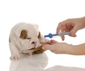 Вакцинация и ревакцинация щенка - советы врачей на каждый день