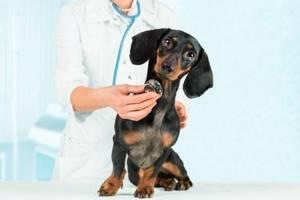 Кашель у собаки - советы врачей на каждый день
