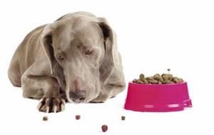 Мопс после еды вялый, тяжело ходит - советы врачей на каждый день