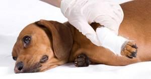 У щенка, дергаются лапы - советы врачей на каждый день