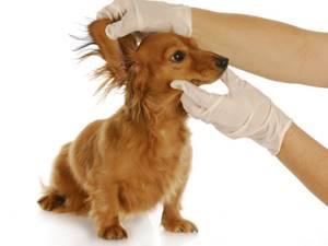 Гнилостный запах у собаки из ушей - советы врачей на каждый день
