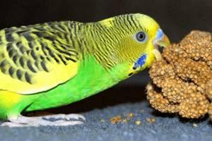 Волнистый попугай заболел - советы врачей на каждый день