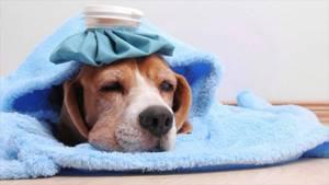 Энтерит у щенка 3 мес - советы врачей на каждый день