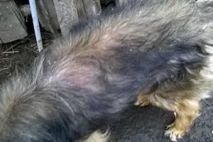 У собаки шелушится кожа и выпадает шерсть - советы врачей на каждый день